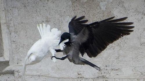 Bồ câu hòa bình của Giáo hoàng bị tấn công - 2