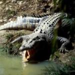 Tin tức trong ngày - Úc: Truy tìm cá sấu khổng lồ đớp cậu bé 12 tuổi