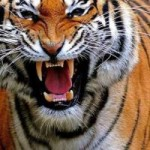 Tin tức trong ngày - Ấn Độ: Ăn thịt 10 người, hổ dữ thoát bẫy thợ săn