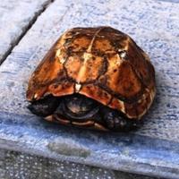 Trả nửa tỉ đồng để mua rùa vàng ở suối cá thần