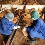Sức khỏe đời sống - Tiếp xúc gà nhiễm cúm H5N1, một cán bộ thú y nhập viện