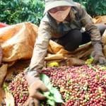 Thị trường - Tiêu dùng - Giá cà phê tăng từng ngày