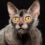Phi thường - kỳ quặc - Loài mèo biến dị giống ma sói