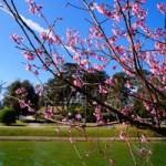 Du lịch - Mùa xuân về với mai anh đào Đà Lạt