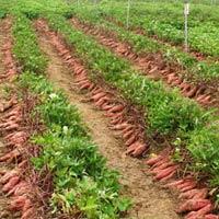 Thương lái TQ gạ nông dân bán lá khoai lang non