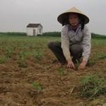 Thị trường - Tiêu dùng - Mang lo vì trót trồng ớt Trung Quốc