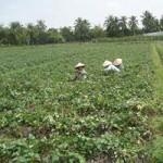 Thị trường - Tiêu dùng - Người trồng khoai lang ngóng thương lái TQ