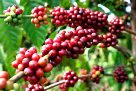 4 lợi ích khi giảm cân với Green Coffee Bean - 2