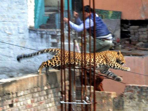 Ấn Độ: Báo hoang đuổi người náo loạn thành phố - 1