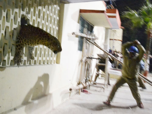 Ấn Độ: Báo hoang đuổi người náo loạn thành phố - 3