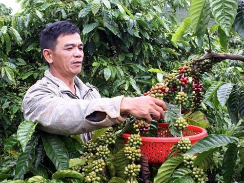 """Giá cà phê tăng, người dân """"găm"""" hàng - 1"""