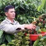 """Thị trường - Tiêu dùng - Giá cà phê tăng, người dân """"găm"""" hàng"""