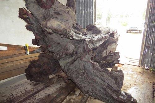 Gửi giám định mẫu gỗ sưa tiền tỷ - 2
