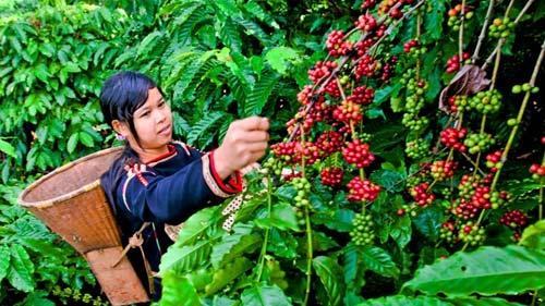 """Cà phê Việt: Vẫn loay hoay """"tách vỏ"""" - 1"""