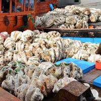 Bắt 20 con sò tượng bị khai thác trái phép