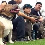 Tin tức trong ngày - Chọi chó: Những canh bạc bạo lực