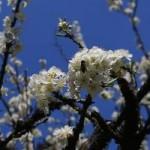 Du lịch - Ngất ngây ngắm hoa đào, mận Sapa nở muộn