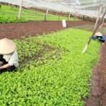 Thị trường - Tiêu dùng - Hà Nội: Rau xanh tăng giá mạnh