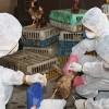 Hà Nội: Có thể xuất hiện cúm A/H5N1 trên người