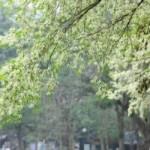 Bạn trẻ - Cuộc sống - Hà Nội dịu ngọt trong sắc trắng hoa sưa