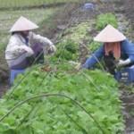 Thị trường - Tiêu dùng - Bát nháo rau vào siêu thị: Ma trận rau an toàn