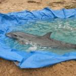 Tin tức trong ngày - Quảng Nam: Cá heo nặng gần 100kg dạt vào bờ