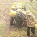 Thị trường - Tiêu dùng - Bắt đầu thu mua tạm trữ lúa gạo