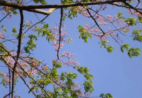 Hương vị ngọt ngào trái ô môi ở miền Tây - 2