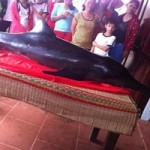 Tin tức trong ngày - Cá Ông Kìm dài 1,7m dạt vào bờ biển Nha Trang