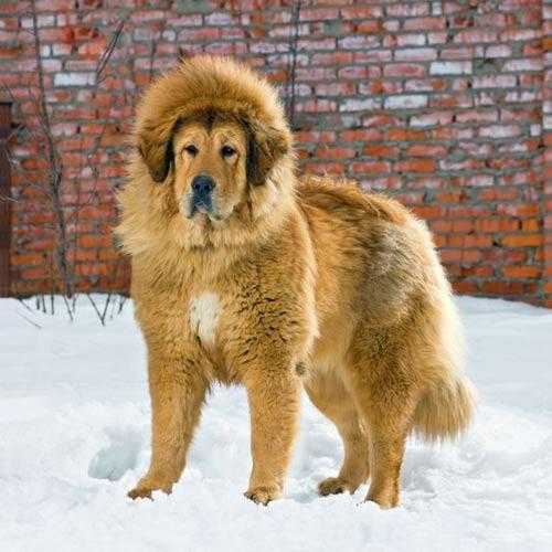 TQ: Chó ngao Tây Tạng giá gần 2 triệu USD - 1
