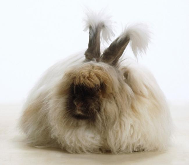 Chú thỏ Angola siêu đáng yêu với bộ lông  xù  nhất thế giới.