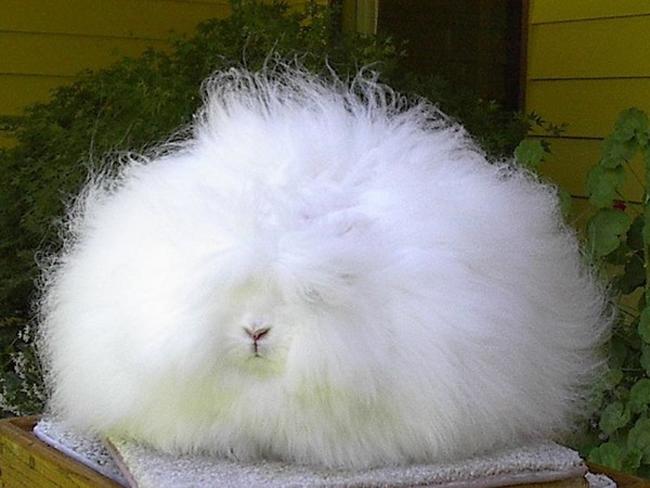 Thỏ Angola là một loài thỏ đã có từ lâu đời tại Thổ Nhĩ Kỳ
