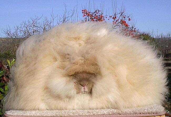 Đặc biệt, thỏ Angola rất nghịch ngợm và quấn người.