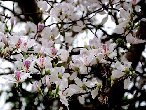 """Tam Đường """"dịu dàng"""" mùa hoa ban nở - 2"""