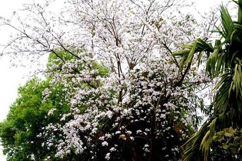"""Tam Đường """"dịu dàng"""" mùa hoa ban nở - 1"""
