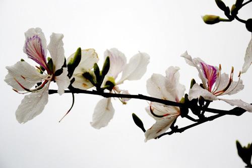 """Tam Đường """"dịu dàng"""" mùa hoa ban nở - 6"""