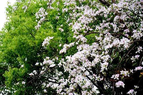 """Tam Đường """"dịu dàng"""" mùa hoa ban nở - 3"""