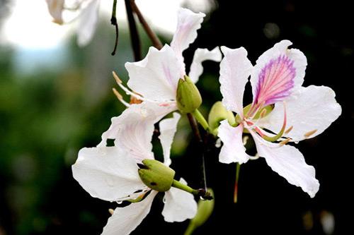 """Tam Đường """"dịu dàng"""" mùa hoa ban nở - 7"""