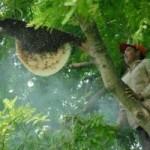 Thị trường - Tiêu dùng - Dân miền Tây săn ong rừng thu trăm triệu