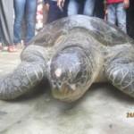 Tin tức trong ngày - Thả rùa quý hiếm nặng gần 100kg về biển