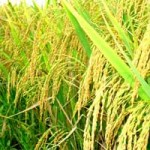 Thị trường - Tiêu dùng - Tiến tới trồng lúa theo đặt hàng của doanh nghiệp