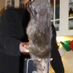 """Phi thường - kỳ quặc - Chuột """"quái vật"""" dài gần nửa mét"""