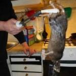 Tin tức trong ngày - Thụy Điển: Chuột khổng lồ đuổi mèo chạy trối chết