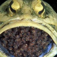 """Kỳ lạ loài cá đực """"ấp"""" trứng trong miệng"""