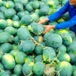 Thị trường - Tiêu dùng - Choáng với dưa hấu miền Tây giá 1.500 đồng/kg