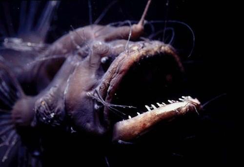 """Loài cá quỷ Anglerfish chết sau khi """"mây mưa"""" cùng bạn tình - 1"""