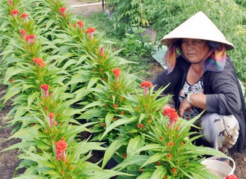 Tất bật trên những vựa hoa Tết ở Sài Gòn - 4