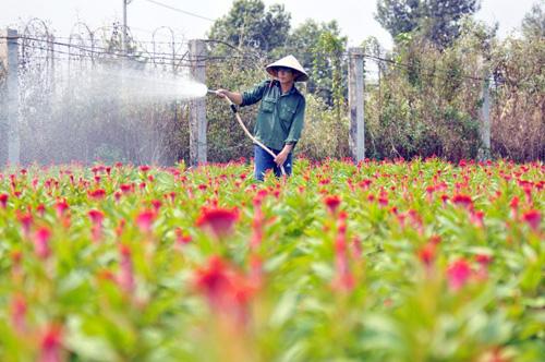 Tất bật trên những vựa hoa Tết ở Sài Gòn - 3