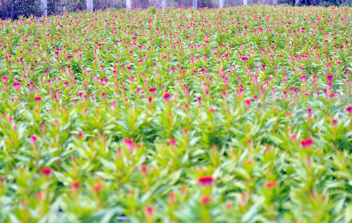 Tất bật trên những vựa hoa Tết ở Sài Gòn - 11