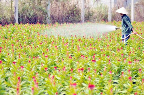 Tất bật trên những vựa hoa Tết ở Sài Gòn - 10